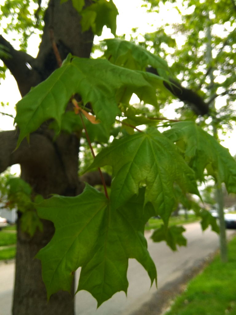 Freshly grown maple leaves in a yellowed light